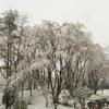 満開の桜と雪のコラボレーションを撮る