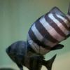 イシダイ Oplegnathus fasciatus