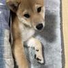 柴犬あきとの生活 67
