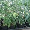 【トマト日記】トマトの定植開始