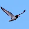 三番瀬を飛翔するミヤコドリ
