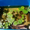 お庭でビオトープ 我が家の水生生物達