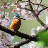 鳥撮り@善福寺公園で、桜+カワセミと、君はマヒワなのでは?!