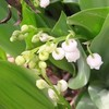桜の葉とアリの同盟関係