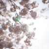 ヘルシオと桜とベース