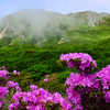 もうそろそろミヤマキリシマの季節 平治岳に桃色のじゅうたんが広がる