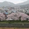 西賀茂の桜