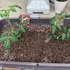 はじめの第1歩!苗の植え付けスタート プランター栽培 トマト きゅうり なす