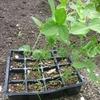 ひょろっと伸びた枝豆の植え付け方法