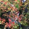 ニシキギ: 紅葉を錦に例えたという名前は知っていましたが,実際の紅葉をみた記憶がありません.日本では「世界三大紅葉樹」の1つといわれていますが,一回しっかり眺めてみたいものです.