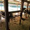 牛の放牧訓練