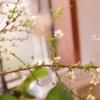 今日も桜は咲いている