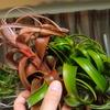 ブラキカウロスの交配種が開花した!