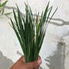 大葉ニラの初収穫!夏の間にグングン成長!