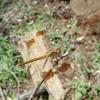 日陰に来るトンボ、日向に来るトンボ、山の中にいるトンボ? トンボたちの好きな場所を見比べてみよう!