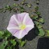 茅ヶ崎里浜の植物観察会