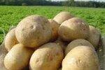 家庭菜園初心者におすすめ。ジャガイモは植え付けの天気だけ守れば、ほぼ大量収穫間違いなし!