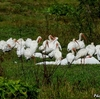 ベリーズ 道路沿いの White Ibis (ホワイト イビス)の群れ