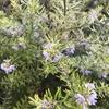 斑入り葉とピンク花の育てやすい庭木『ウエストリンギア(バリエガータ)』2年間の成長記録