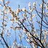 済州島(チェジュ島)春の祭り情報 #春の香り感じる「翰林公園梅祭り」「休愛里梅祭り」「ノリメ梅祭り」