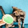 【猫】ちょこちゃんにブラッシングをしてみた。