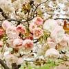 へいわ桜まつりのココが見どころ!