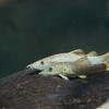 シンクロサス・へローデス Syncrossus helodes