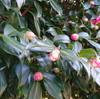 寒椿、たくさんの蕾をつけ花を咲かせる。