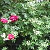 野バラの白とクリムゾングローリーの赤のコラボが素敵!
