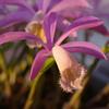 夕方の朱鷺草と福寿草
