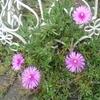 外花壇の花たち・・・入れ替わり中!