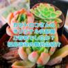 たにログ232 【狩っ多肉紹介】カクトロコさんオリジナル交配の風林火山!