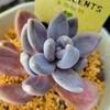 🌵多肉植物   ムチムチな紫麗殿  他🌵