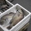 2019年5月14日 小浜漁港 お魚情報