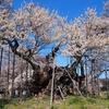 遠い思い出のような、そんな光景 ~山高神代桜~