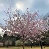 イベント中止でも見ごたえありの赤城南面千本桜
