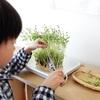 豆苗の再生栽培。みかんとミニトマトの経過も