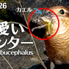 1126【小さな猛禽モズがカエルを捕食。可愛い女ハンター】カラス親子給餌。野鳥の鳴き声(ウグイス、アオジ、イソシギ、コゲラ)ゴイサギ幼鳥、カワセミ【 #今日撮り野鳥動画まとめ 】 #身近な生き物語