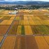 麦畑、黄金に輝く 嘉島町