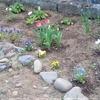 本日の朝活~1年目の花壇の土壌改良(簡易バージョン)
