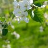 りんごに花が咲く頃
