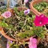 花が減ってきたよ&肥料はまだあげないで!