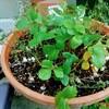 鉢植えハーブがうまく育たない、その原因は?