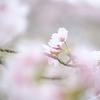 淡い桜 #曇り空