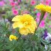 雨の中の黄色