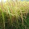 稲刈り:今年も新米が採れました。玄米が出きるまで。