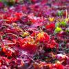 イロハモミジの丘の上 過ぎゆく秋の夢を見ながら