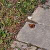 チョウチョ ブルーベリーの結実はじまる ブルーベリー植える