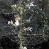 ローズマリーの花 2016 1月