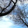 哲学の道と桜-- 吾は行く